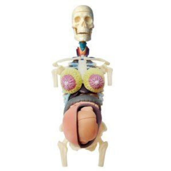 【4D MASTER】立體拼組模型人體解剖教學系列-全透視半身-懷孕 26069