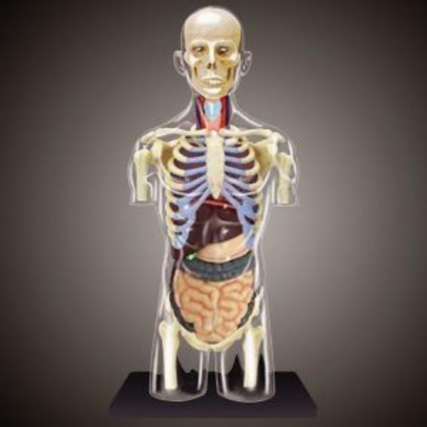 【4D MASTER】立體拼組模型人體解剖教學系列-全透視人體-8吋半身透明軀幹 26068